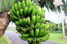 Garder la banane