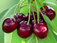 Entretien des arbres fruitiers