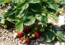 Tout sur les fraisiers