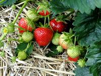 La culture des fraisiers