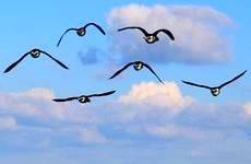 Pourquoi et comment les oiseaux migrent